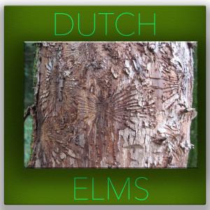 Dutch Elms