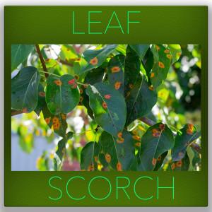 leaf scorch