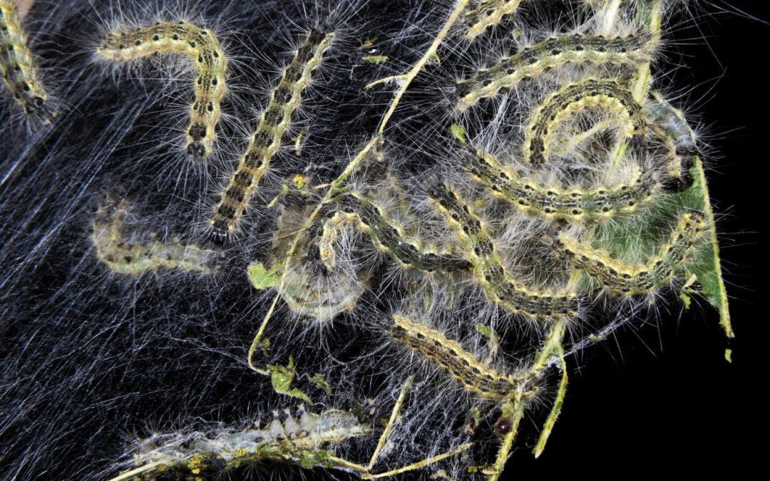 How to get rid of webworms