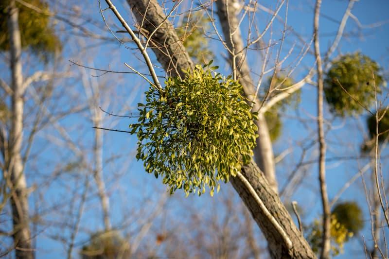 Tree Mistletoe Removal In Fort Worth, Texas