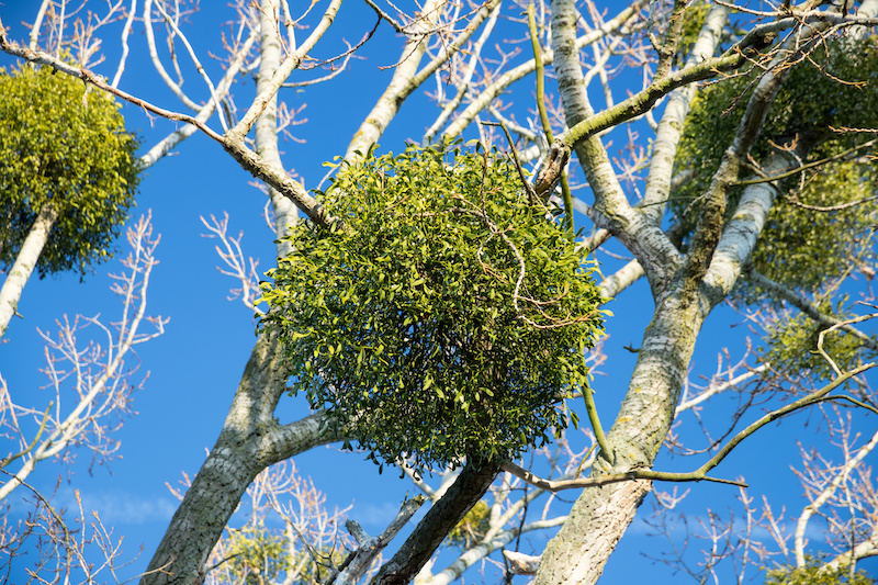 Mistletoe Tree in Arlington Tx.