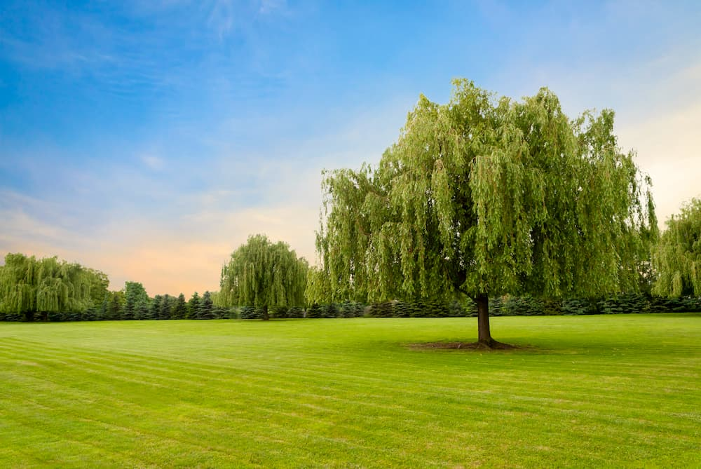 Signs Of A Sick Willow Tree In Fort Worth, Texas